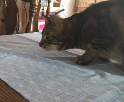 cat inspecting quilt sandwich